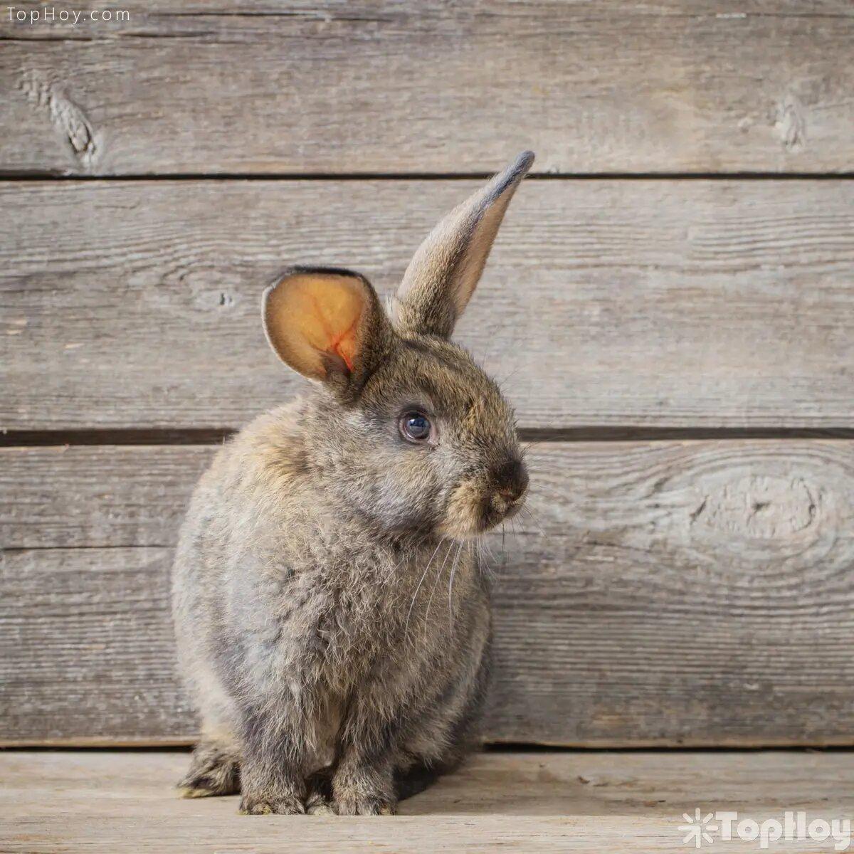 Los conejos pueden tener un promedio de vida de más de 10 años.