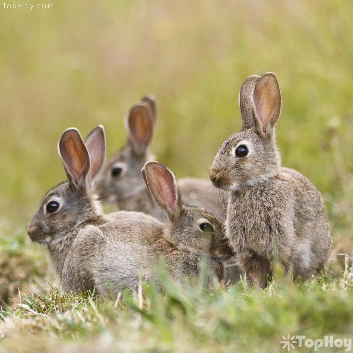 Cuando se encuentran en su ambiente natural, los conejos viven en grupo.