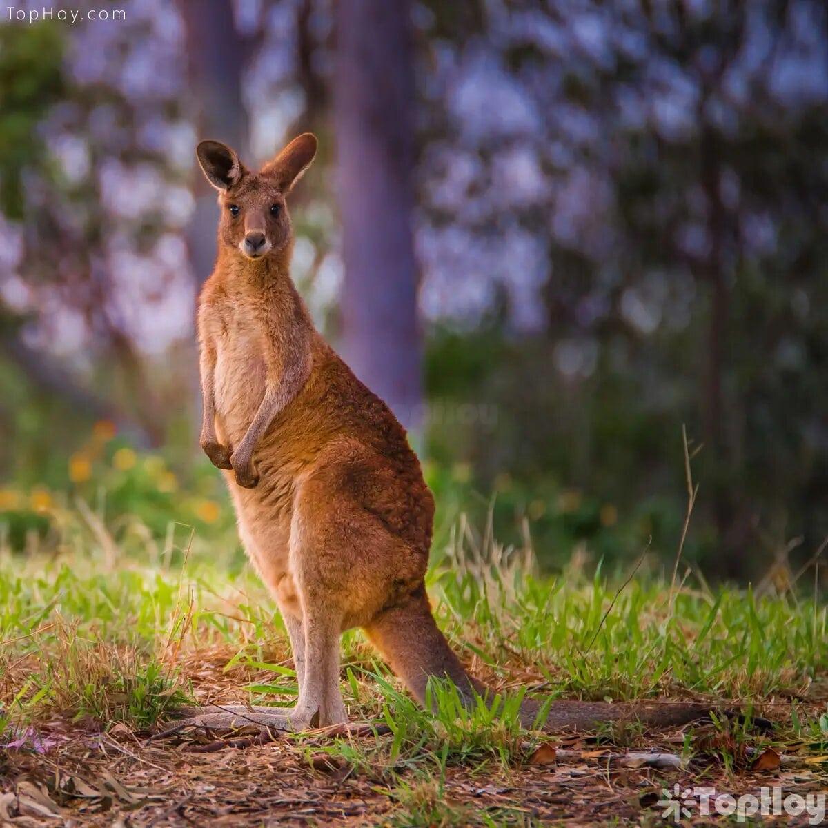 Existen 47 especies distintas de canguros, pero entre las más conocidas se encuentran el gris occidental, el rojo y el gris oriental.