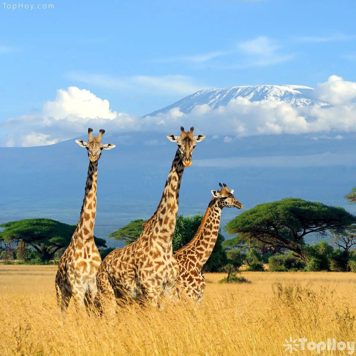 Las jirafas pasan la mayor parte de su vida estando de pie, aprovechando que tienen piernas muy fuertes.